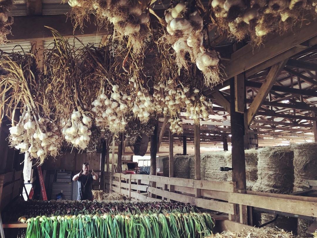 Allium curing shed