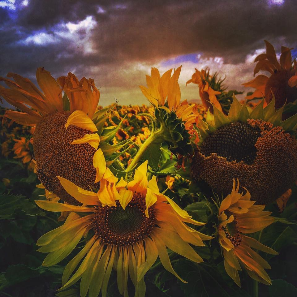 Storm over the sunflowers