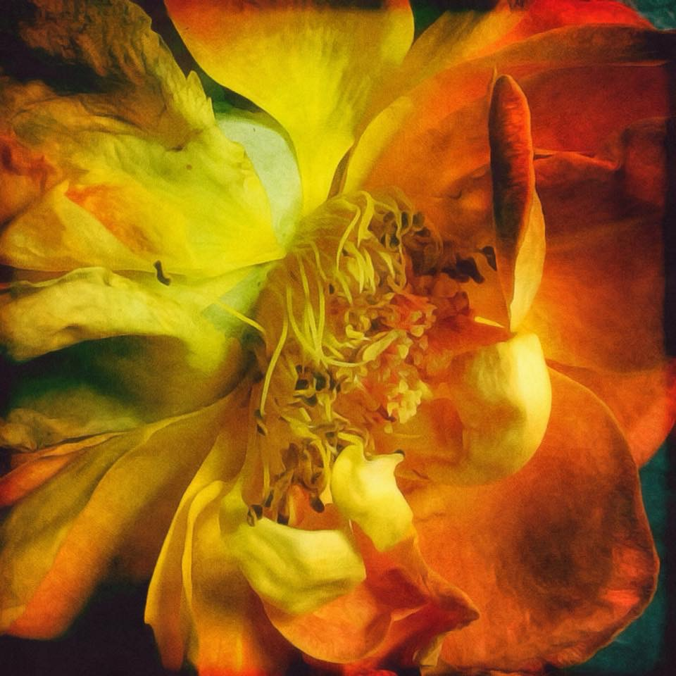 The beauty of a dying yellow rose
