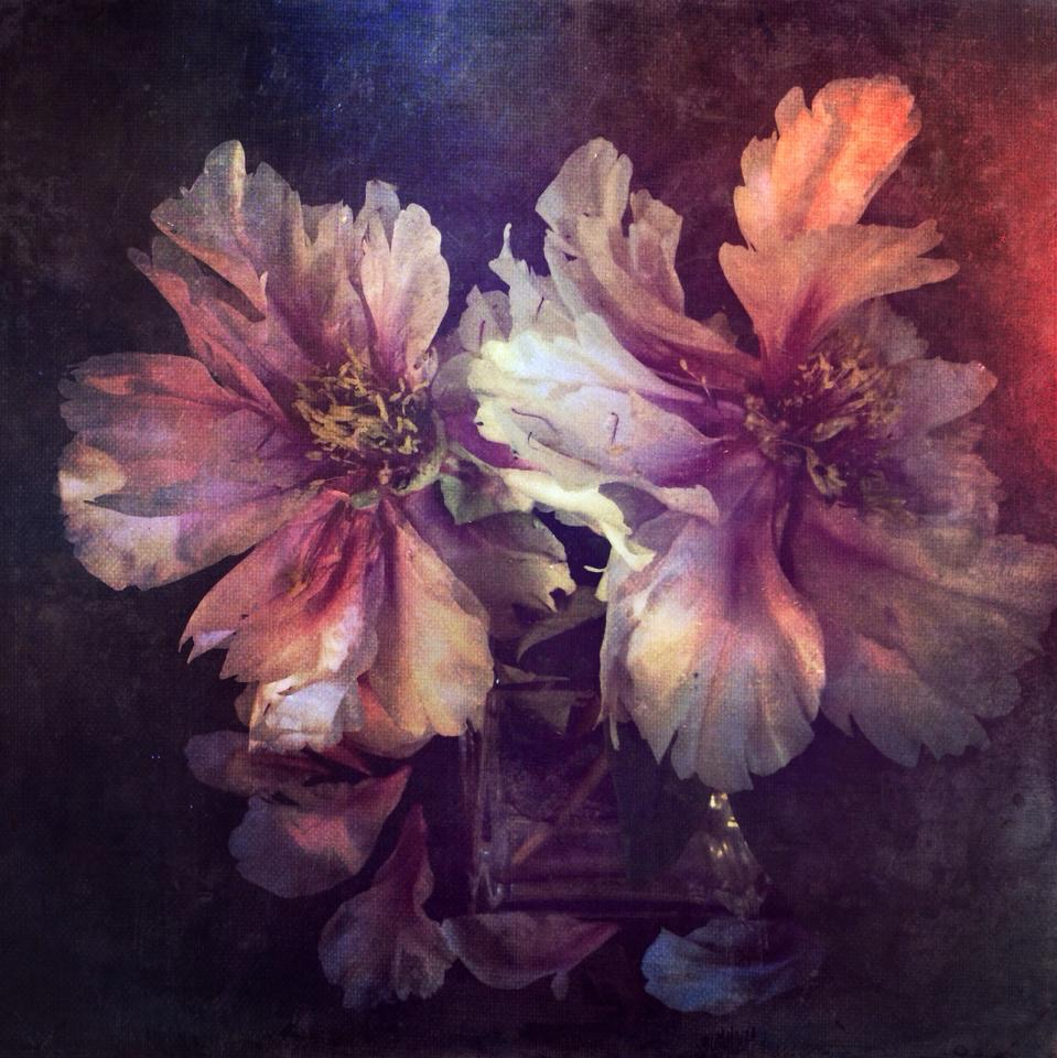 Rose peonias