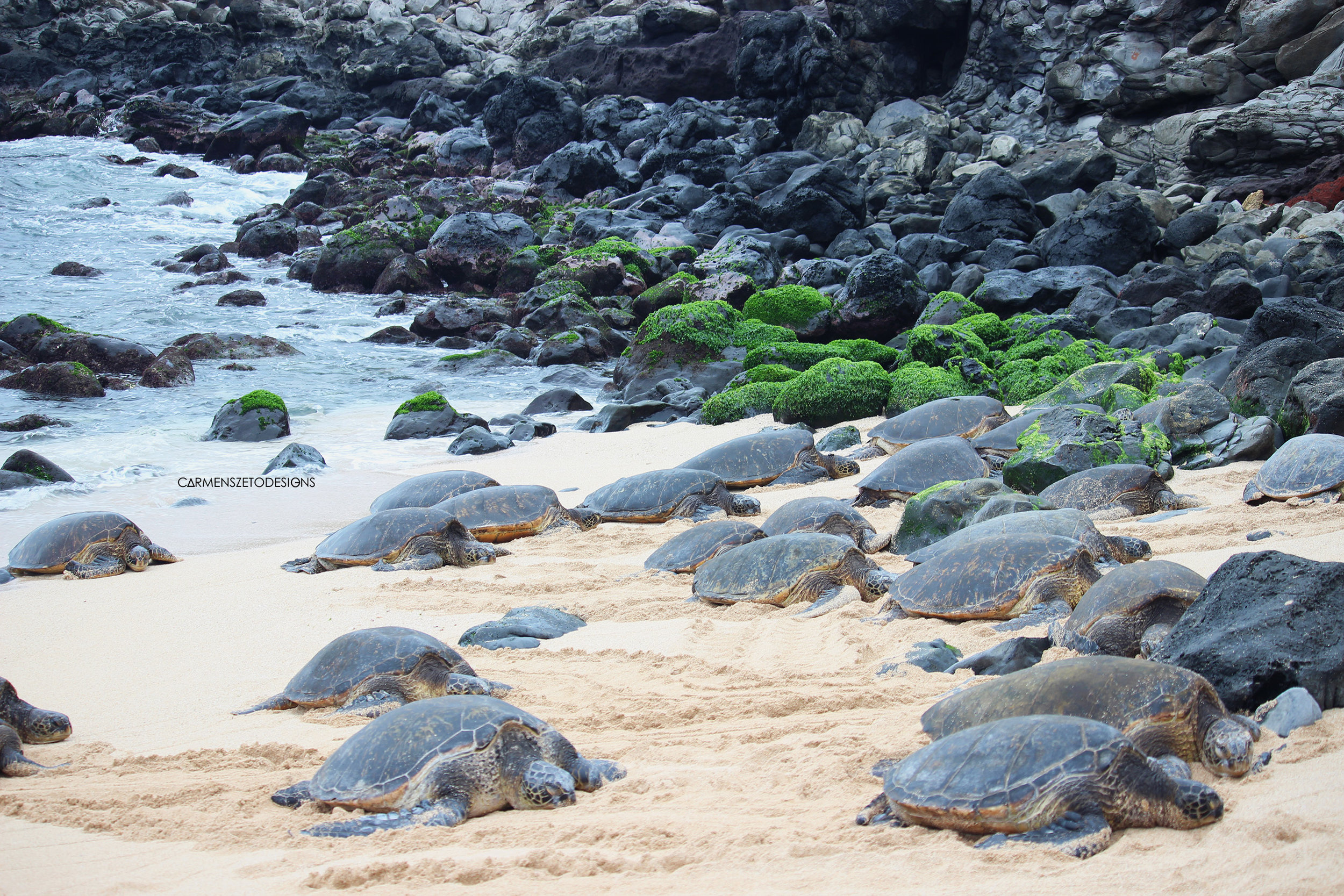 Green Sea Turtles resting on Makena Beach.
