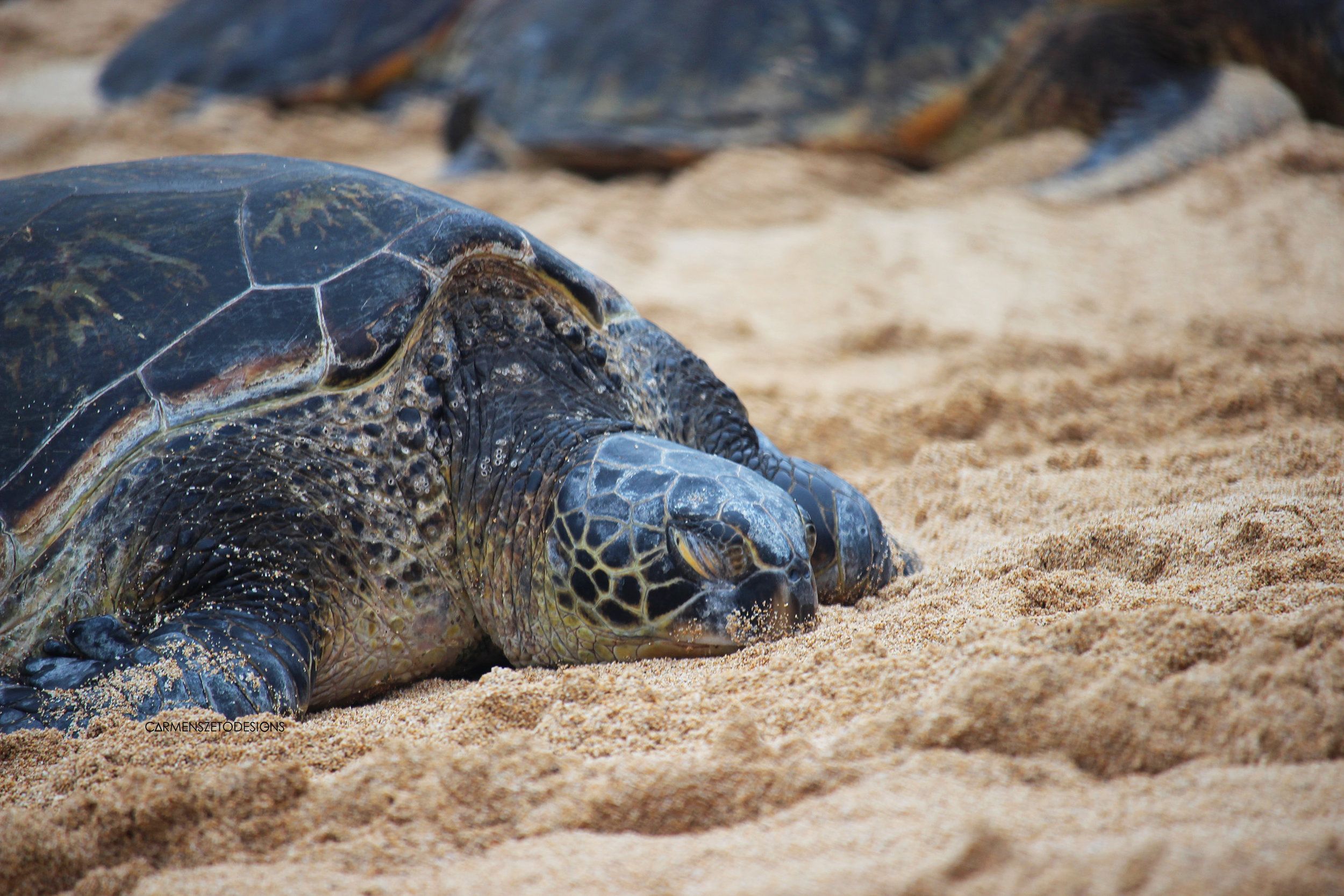 Green Sea Turtle at Makena Beach.