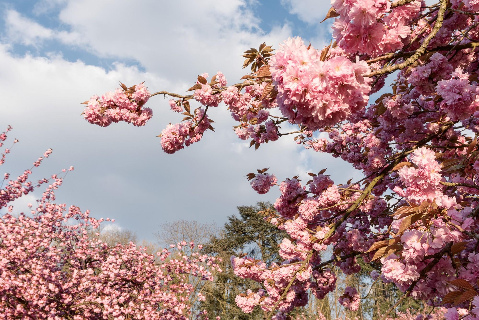 Parc de Sceaux cherry blossom france iledefrance travelling travelphotography travelphoto travelworld cherryblossom spring nature pink parcdesceaux flowers.jpg