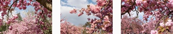 memorama cherry blossom.jpg