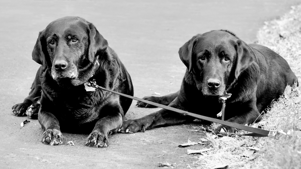 Gunner (right) and his sister, Ebony:   These were  wonderful dogs, gifted comedians, and steadfast companions. We miss them.