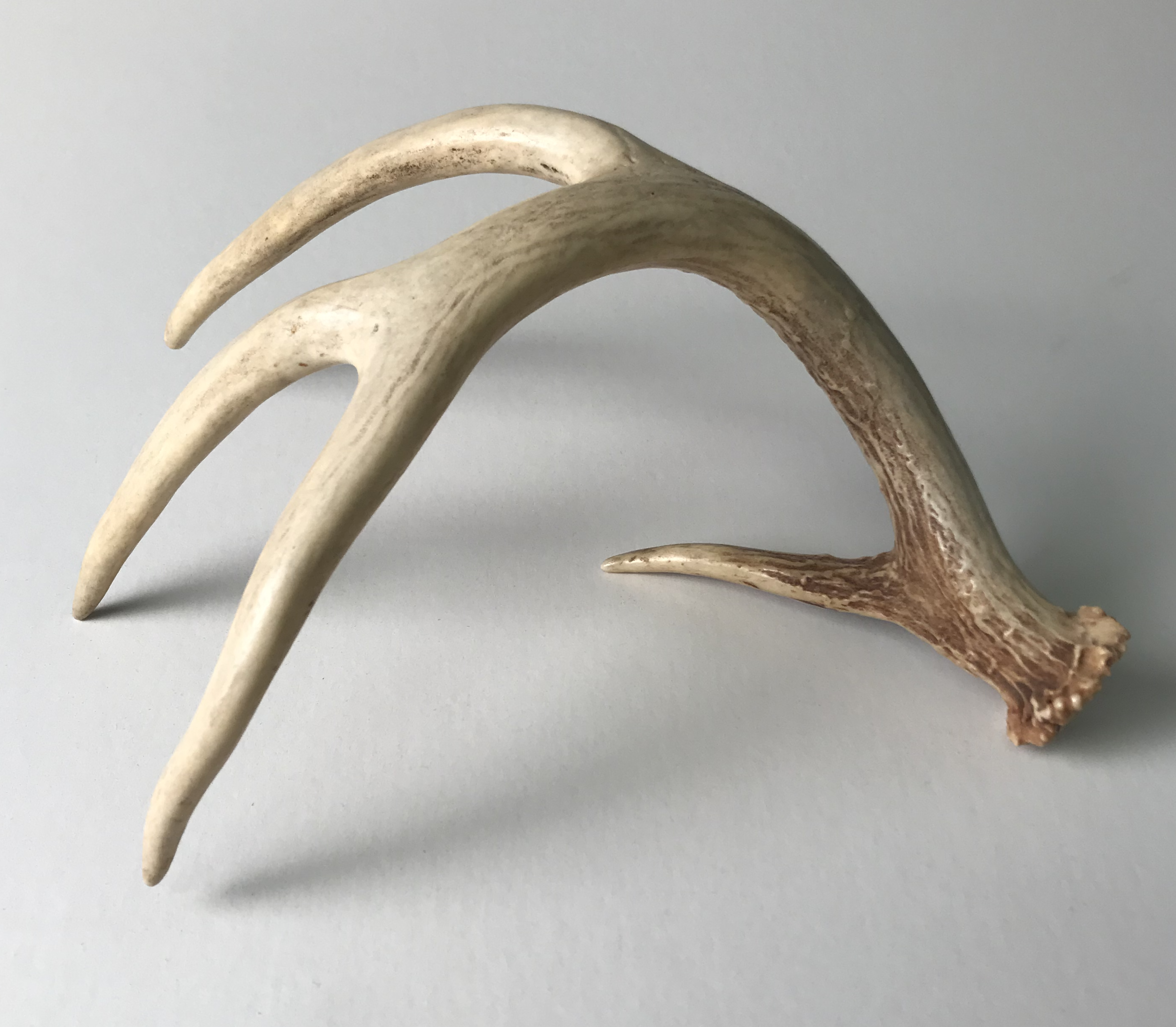 Rough Deer Antler