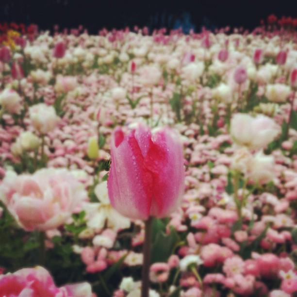 pink tulips floriade