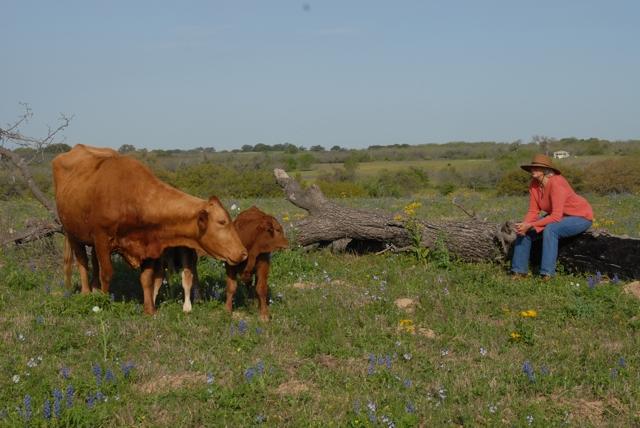 spring cows4 copy.jpg