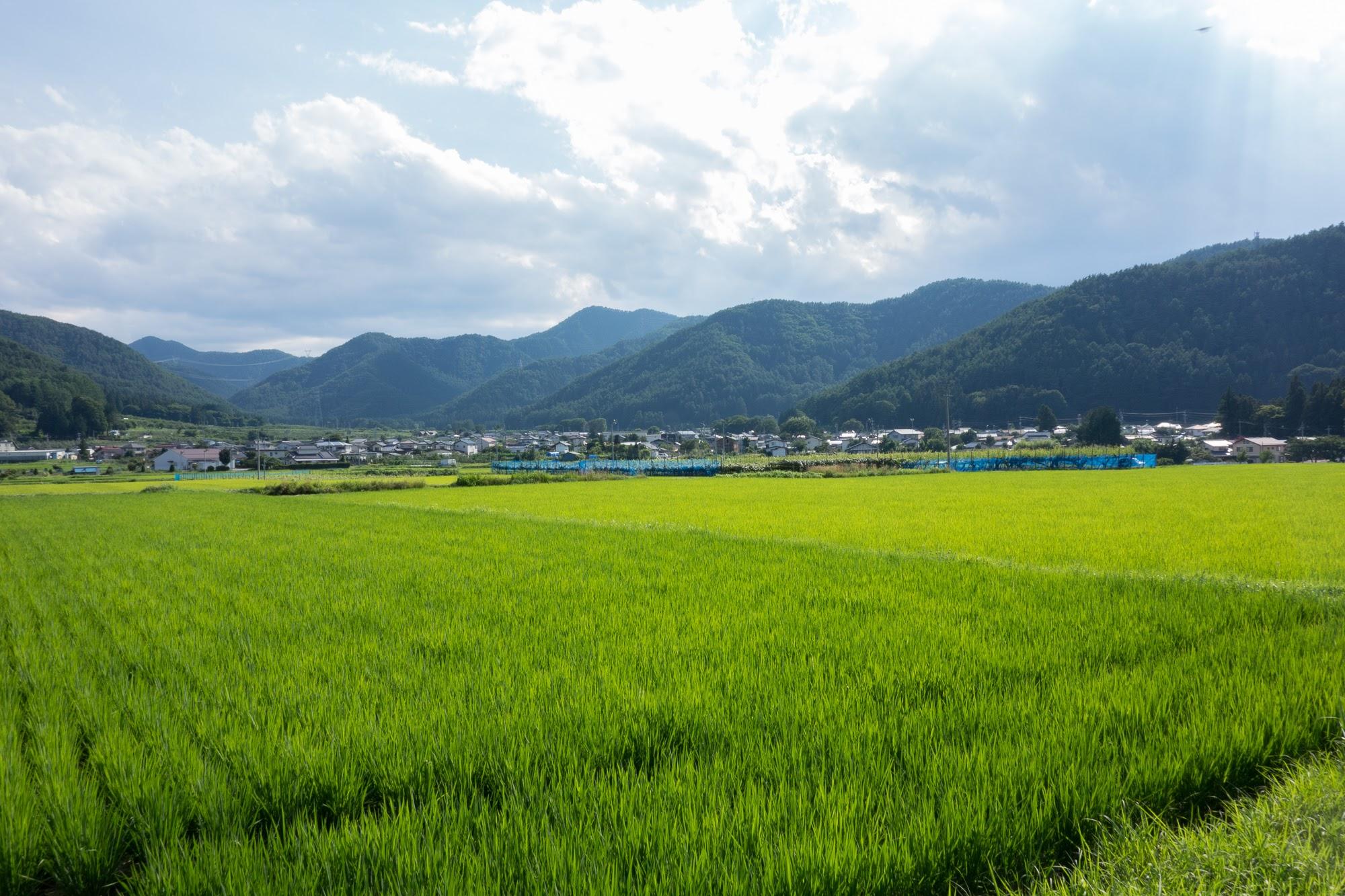 Rice Fields & Vinyards