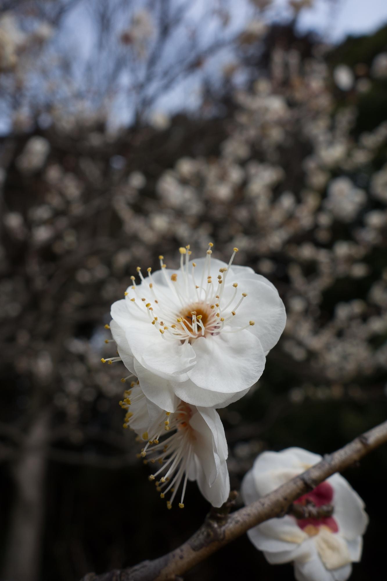 Ume Blossom