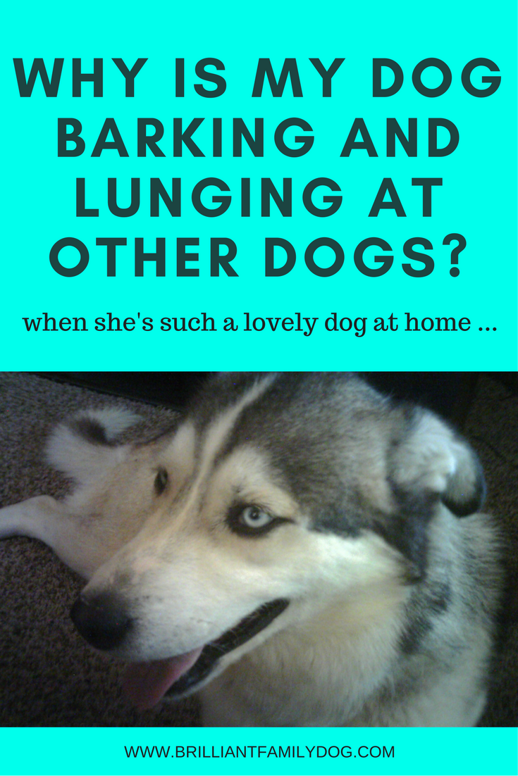Reactive dog, aggressive dog, fearful dog   Why is my dog barking and lunging at other dogs?   FREE EMAIL COURSE   #aggressivedog, #aggressivedog, #dogtraining, #growlydog   www.brilliantfamilydog.com
