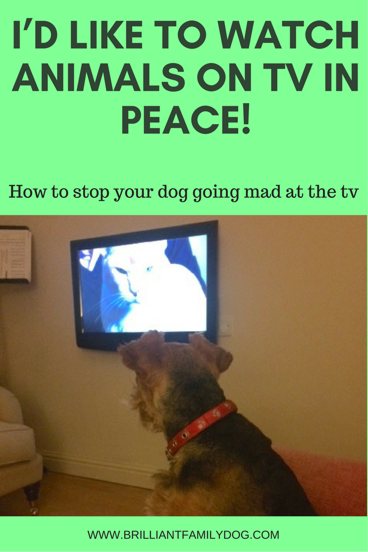 New Puppy? New Rescue Dog? Does your dog bark at the tv? | FREE EMAIL COURSE | #newpuppy, #newrescuedog, #dogtraining | www.brilliantfamilydog.com