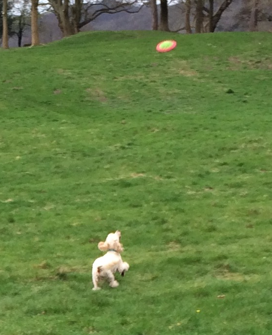 Agile Coco Poodle loves his frisbee too