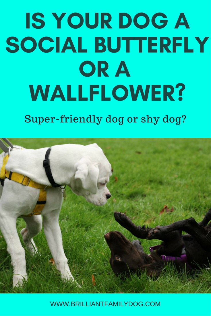 Dog training, new puppy, puppy training, dog behavior | Is your dog a super-friendly dog, or a super-shy dog? Find out how to manage him successfully here | FREE EMAIL COURSE | #newpuppy, #dogtraining, #puppytraining, #dogbehavior | www.brilliantfamilydog.com