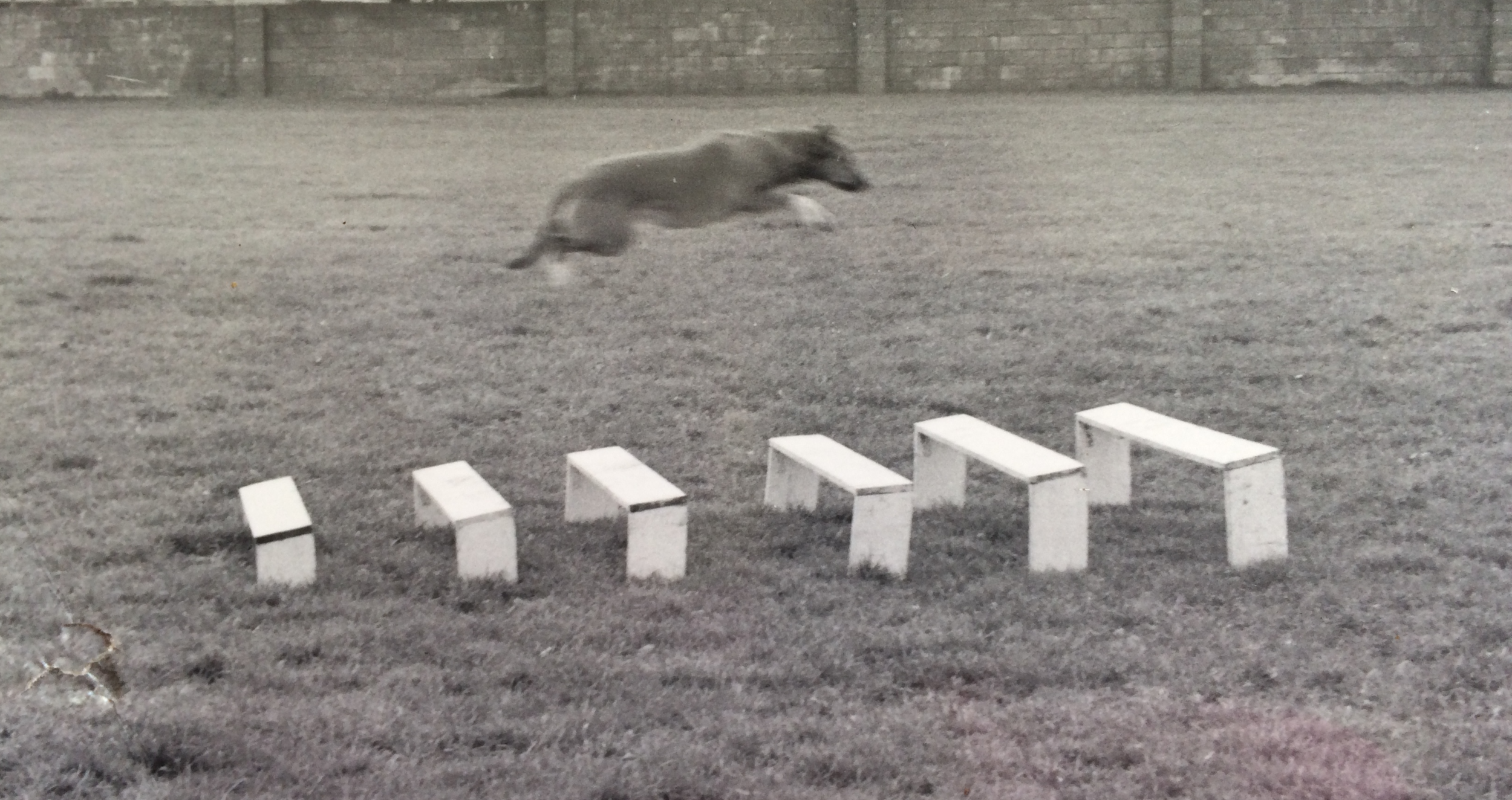 Little Poppy clears the 9 foot long jump with ease at a competition.