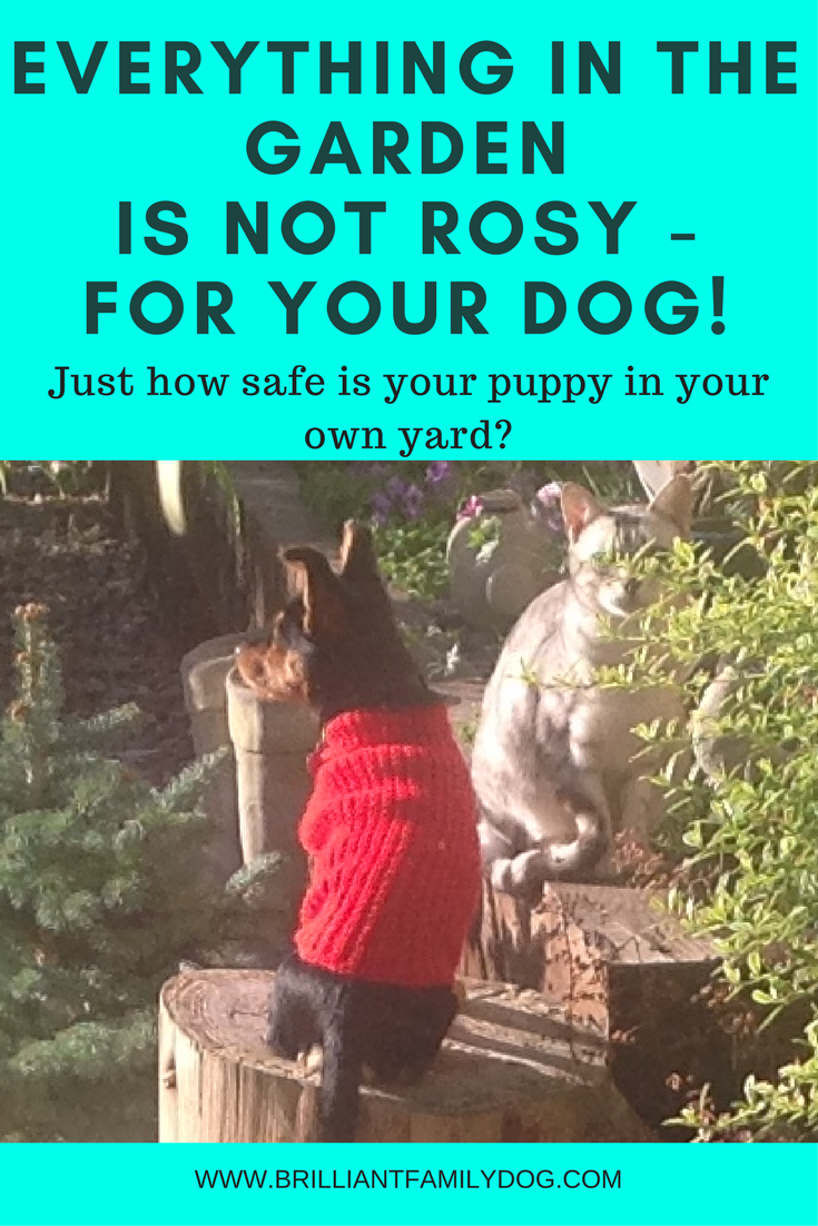 Dog training, new puppy, puppy training, dog health | How safe is your garden or yard for your dog? | CHECKLIST AND RESOURCES | #newpuppy, #dogtraining, #newrescuedog, #doghealth, #dogbehavior | www.brilliantfamilydog.com