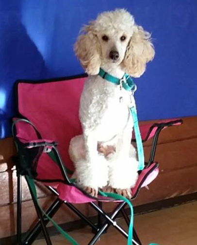 This is the monstrous and delightful Coco Poodle!