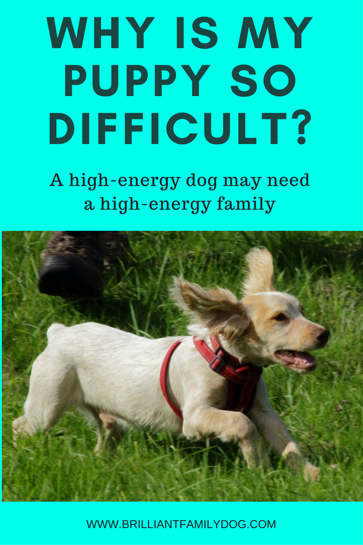 Dog training, new puppy, puppy training | Why is my puppy so difficult? Why is he different from my other dogs? READ THE POST to find the answer! | FREE EMAIL COURSE | #newpuppy, #dogtraining, #newrescuedog, #puppytraining, #dogbehavior | www.brilliantfamilydog.com