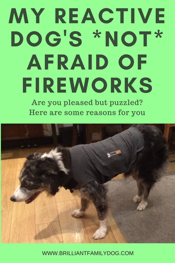 Reactive dog, aggressive dog, fearful dog, dog behavior, fireworks | My reactive dog's *not* afraid of fireworks: Why?  | FREE EMAIL COURSE | #aggressivedog, #reactivedog, #dogtraining, #growlydog | www.brilliantfamilydog.com