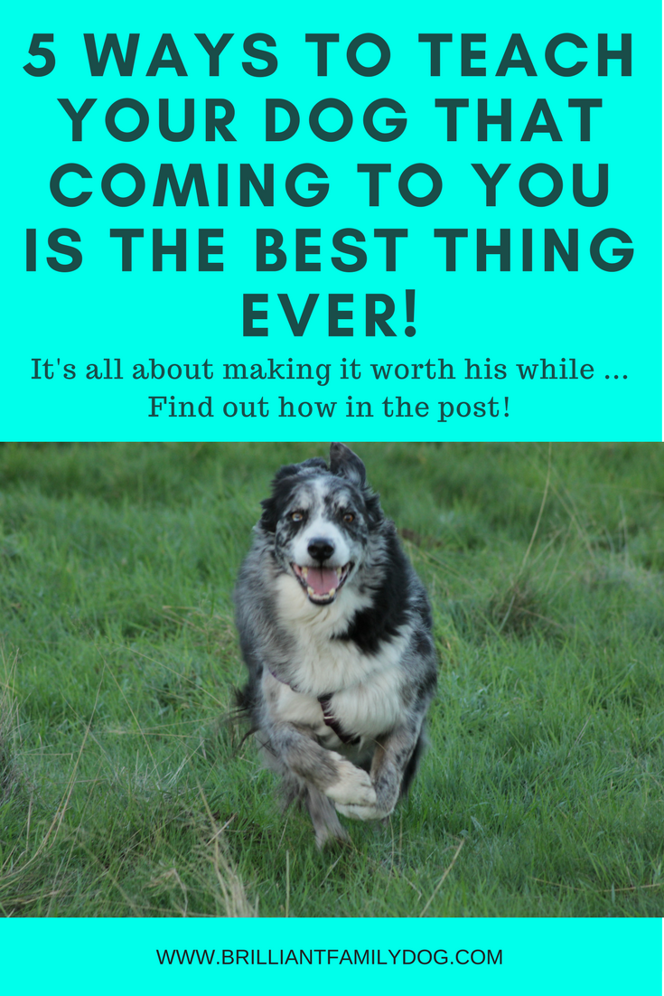 Dog training, new puppy, puppy training, dog recall training | 5 ways to teach your dog that coming to you is the best thing ever | FREE EMAIL COURSE | #newpuppy, #dogtraining, #newrescuedog, #puppytraining, #dogbehavior | www.brilliantfamilydog.com