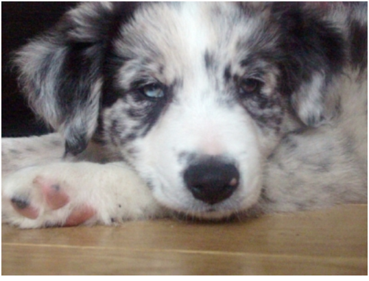 7 week old Border Collie puppy | click for FREE EMAIL COURSE | www.brilliantfamilydog.com