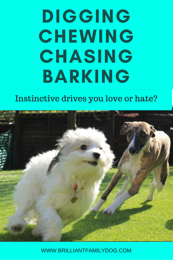 Dog prey drive, bad dog behavior, dog training | Digging, Chewing, Chasing Barking: Instinctive drives you love or hate? | #newpuppy, #dogbarking, #dogbehavior | www.brilliantfamilydog.com