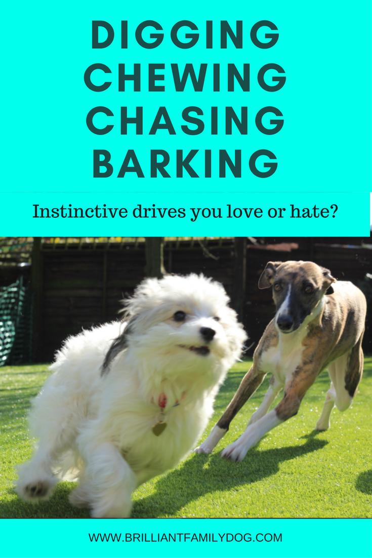 Dog prey drive, bad dog behavior, dog training | Digging, Chewing, Chasing Barking: Instinctive drives you love or hate? | #newpuppy, #dogbarking, #dogbehavior | www.brilliantfamilydog.com