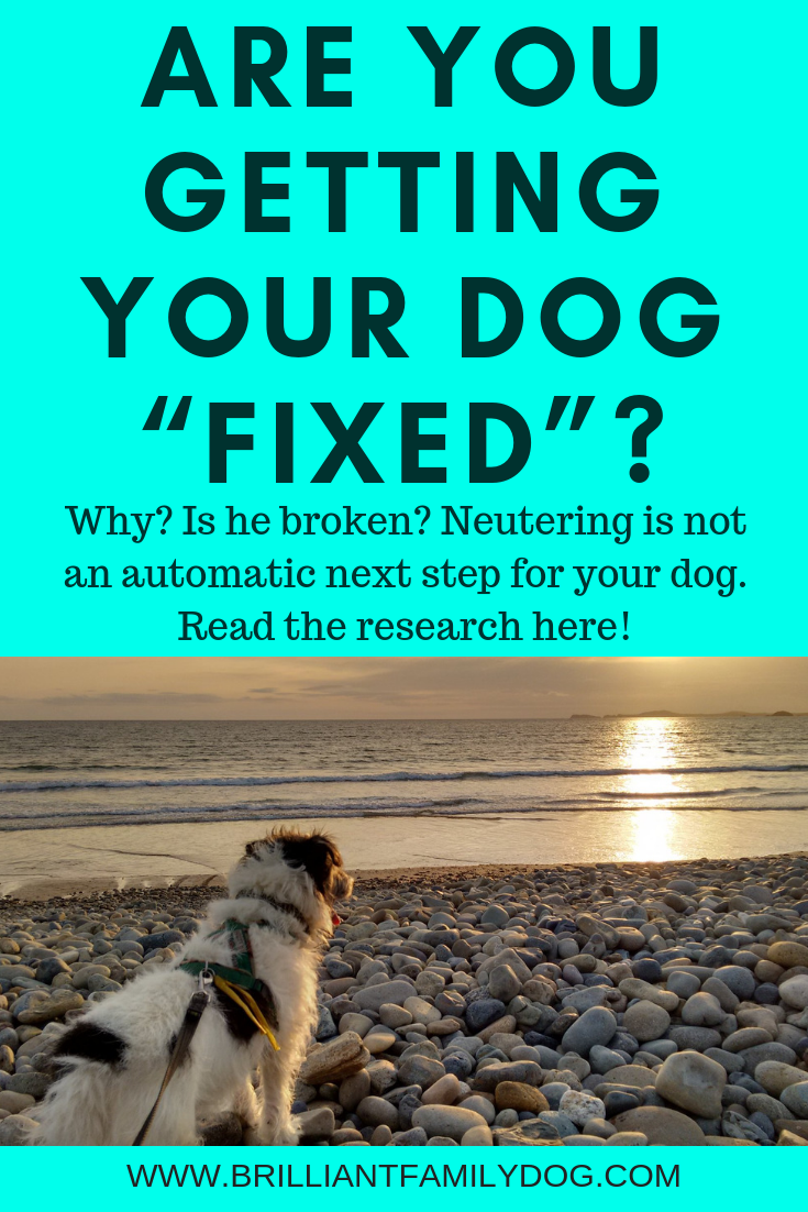 Do you plan to neuter your dog as the automatic next step? Think again! Neutering can have a lot of unwanted effects on your pet. | FREE EMAIL COURSE | #aggressivedog, #reactivedog, #dogtraining, #growlydog, #doghealth, #dogneutering, #dogspaying | www.brilliantfamilydog.com