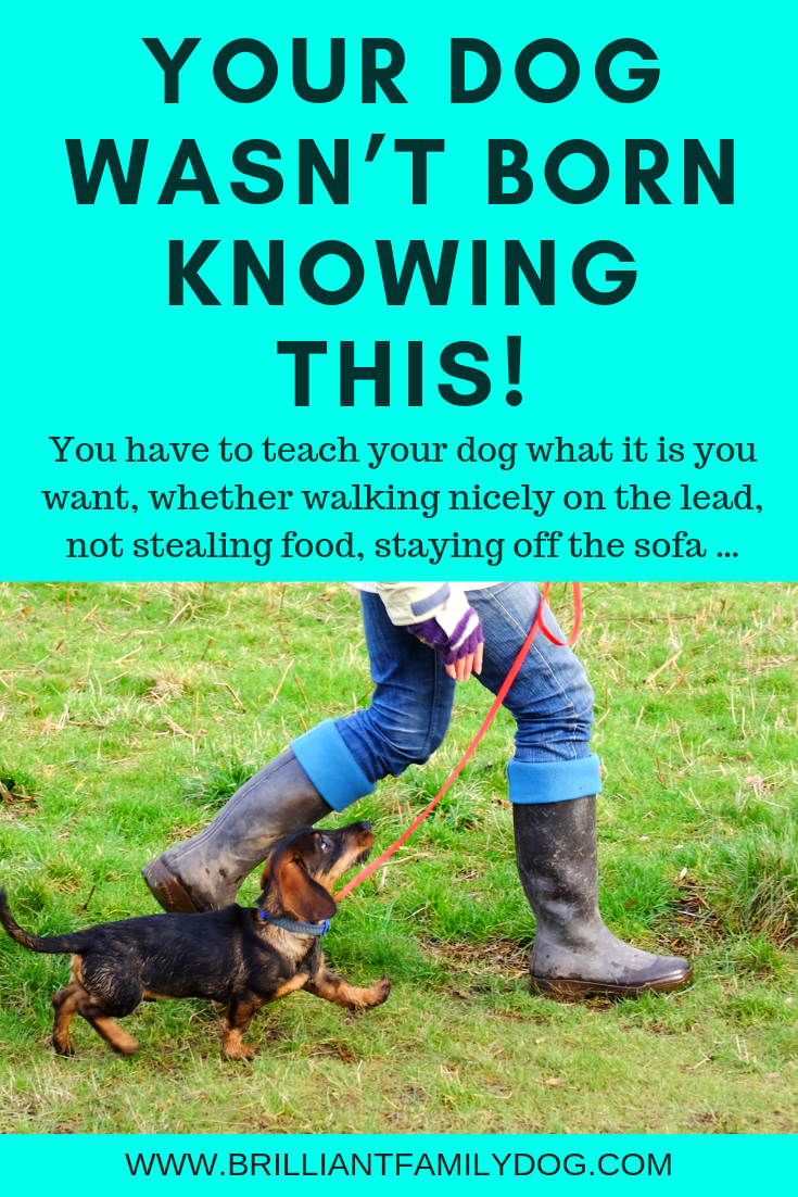 There's no need to be hauled about by your enthusiastic dog! Follow this proven step-by-step system and enjoy relaxed walks, your dog by your side | FREE EMAIL COURSE | #newpuppy, #dogtraining, #newrescuedog, #leaveit, #dogbehavior, #looseleashwalking | www.brilliantfamilydog.com