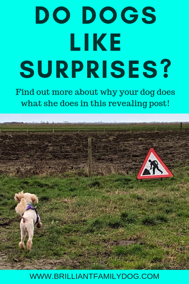 Do dogs like surprises? Their job is to spot surprises and alert us | FREE EMAIL COURSE | #newpuppy, #dogtraining, #newrescuedog, #puppytraining, #dogbodylanguage, #dogbehavior, #reactivedog | www.brilliantfamilydog.com