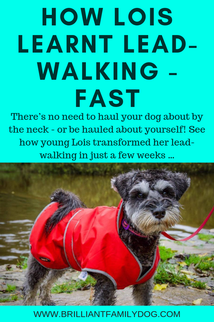 There's no need to be hauled about by your enthusiastic dog! Follow this proven step-by-step system and enjoy relaxed walks, your dog by your side | FREE EMAIL COURSE | #newpuppy, #dogtraining, #newrescuedog, #doghealth, #dogbehavior, #looseleashwalking | www.brilliantfamilydog.com
