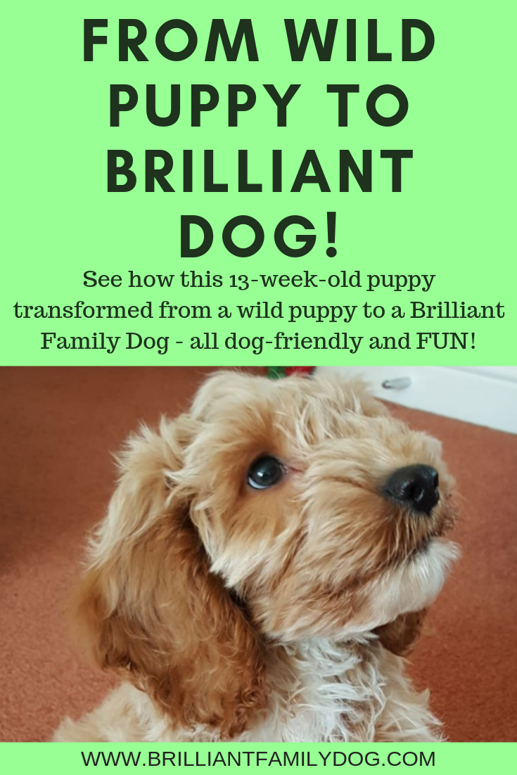 Got a new puppy! Wonderful! Now find out how to make your pup the best ever using only the kindest methods | FREE EMAIL COURSE | #newpuppy, #dogtraining, #newrescuedog, #puppytraining, #puppycare, #dogbehavior | www.brilliantfamilydog.com