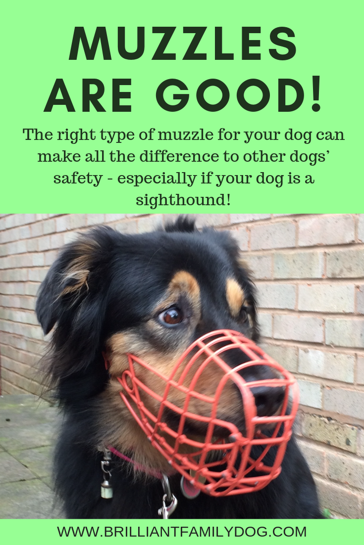 Should my sighthound wear a muzzle? I'm worried that people will think my dog is aggressive and I'm a bad dog-owner! Find out the truth here | FREE EMAIL COURSE | #aggressivedog, #greyhound, #exracinggreyhound, #dogtraining, #growlydog, #dogmuzzle, #dogmuzzletraining | www.brilliantfamilydog.com