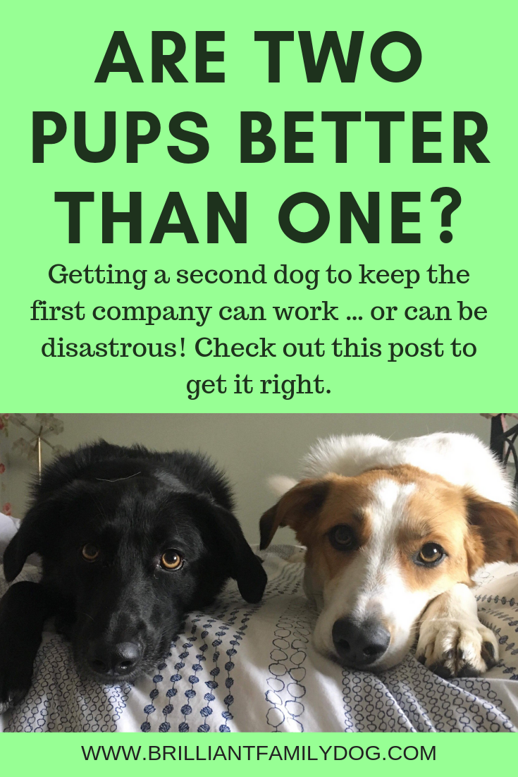 Make sure your dogs get as much attention as they need while you focus on your new dog! Juggling the needs of individual dogs in a multi-dog household takes skill and thought | FREE EMAIL COURSE |  #newpuppy, #twodogs, #littermates, #reactivedog, #dogtraining, #dogbehavior | www.brilliantfamilydog.com