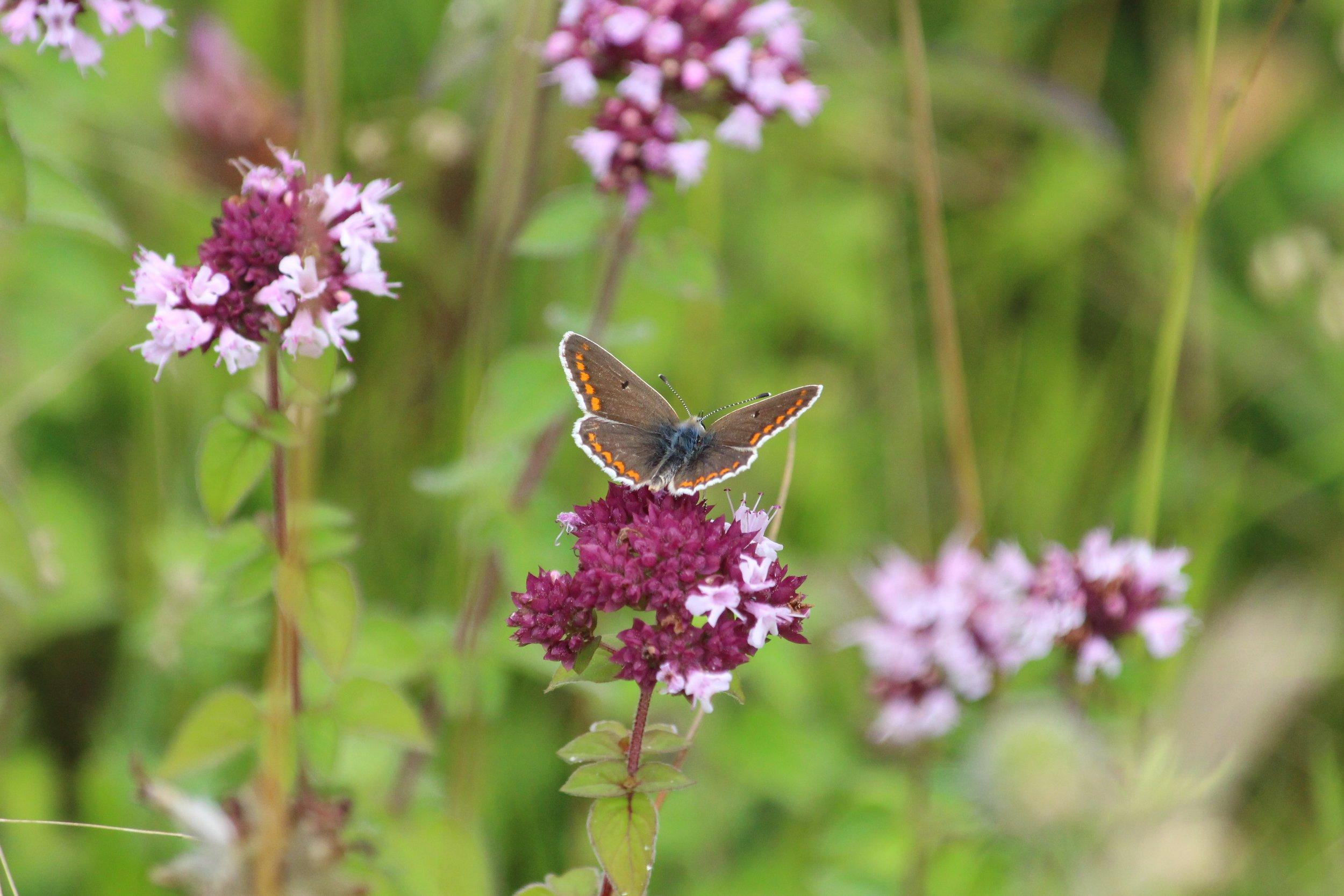 Common Blue female.jpg