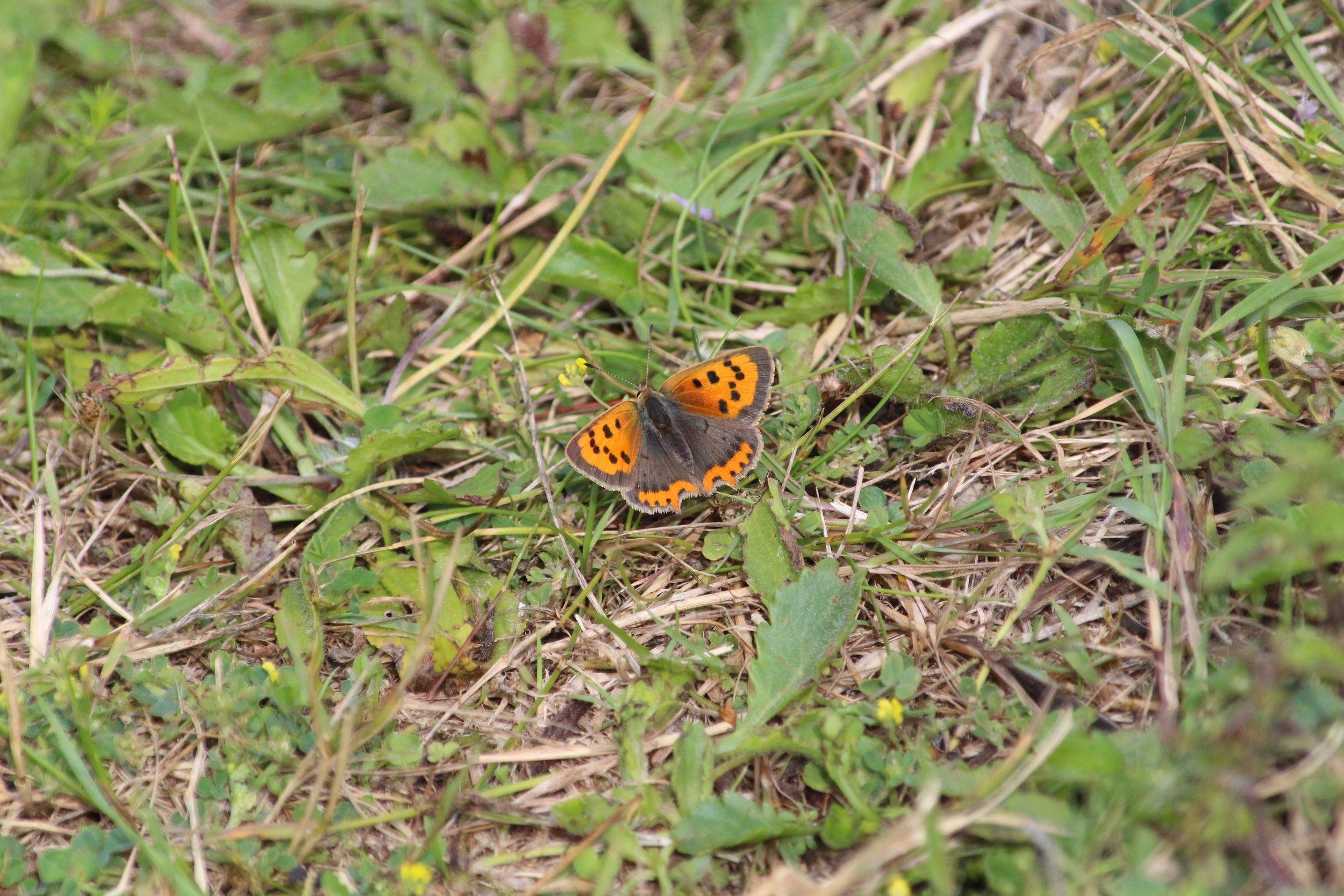 Small Copper female (1).jpg