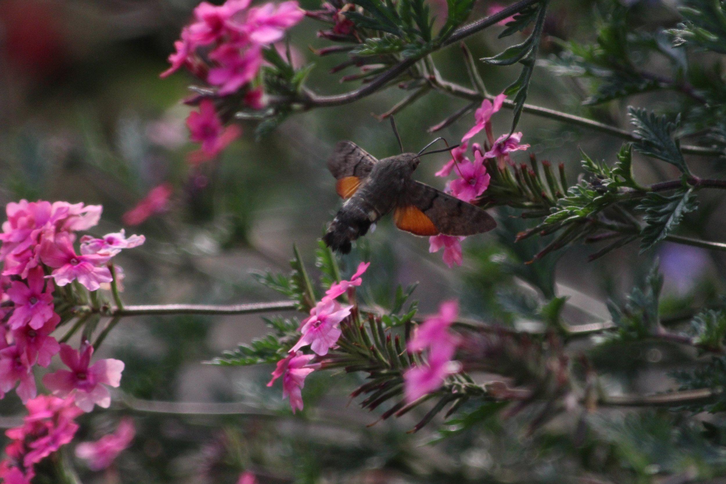 Hummingbird Hawk-moth.jpg