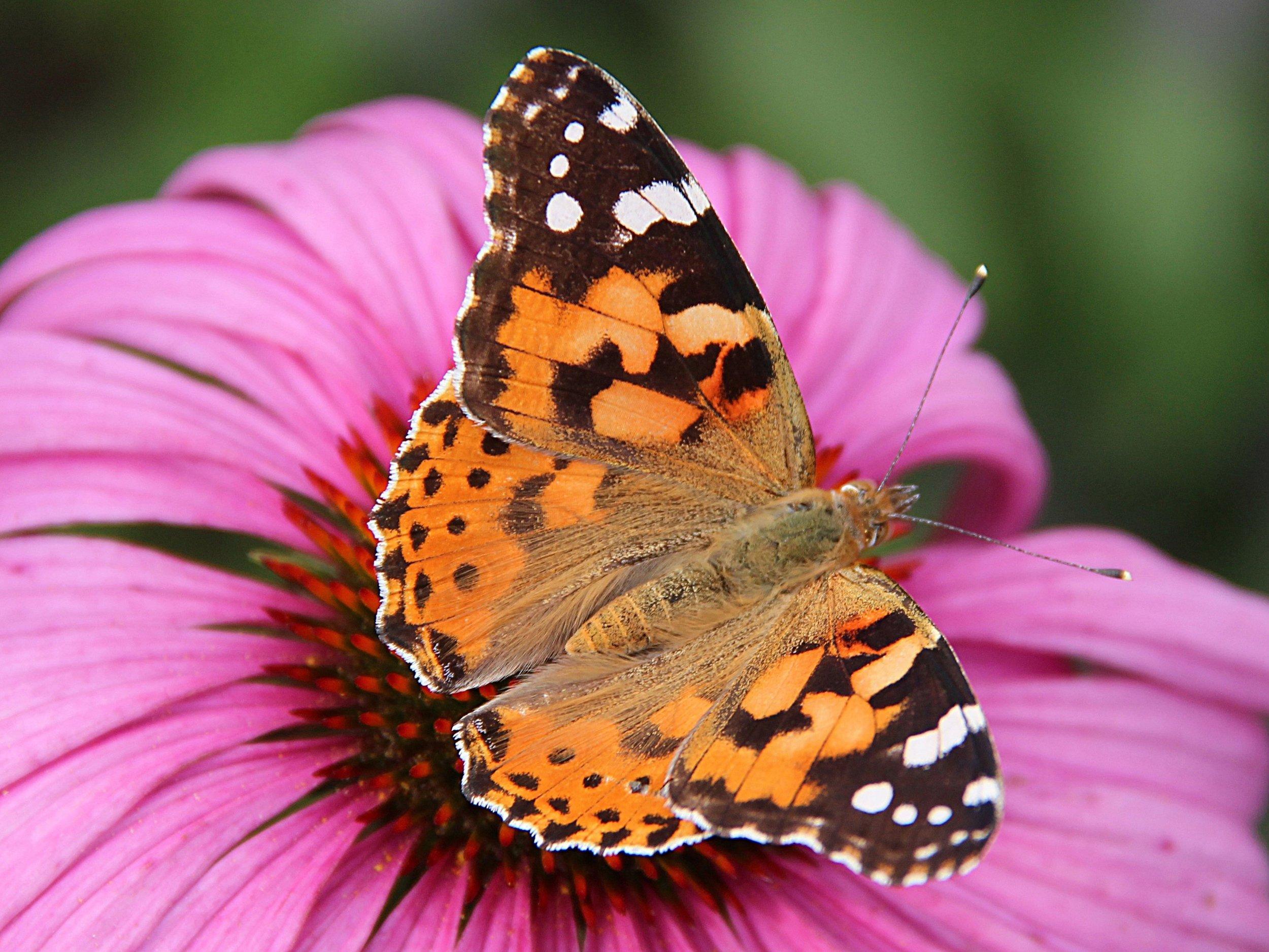 2880px-0_Belle-dame_(Vanessa_cardui)_-_Echinacea_purpurea_-_Havré_(3).jpg