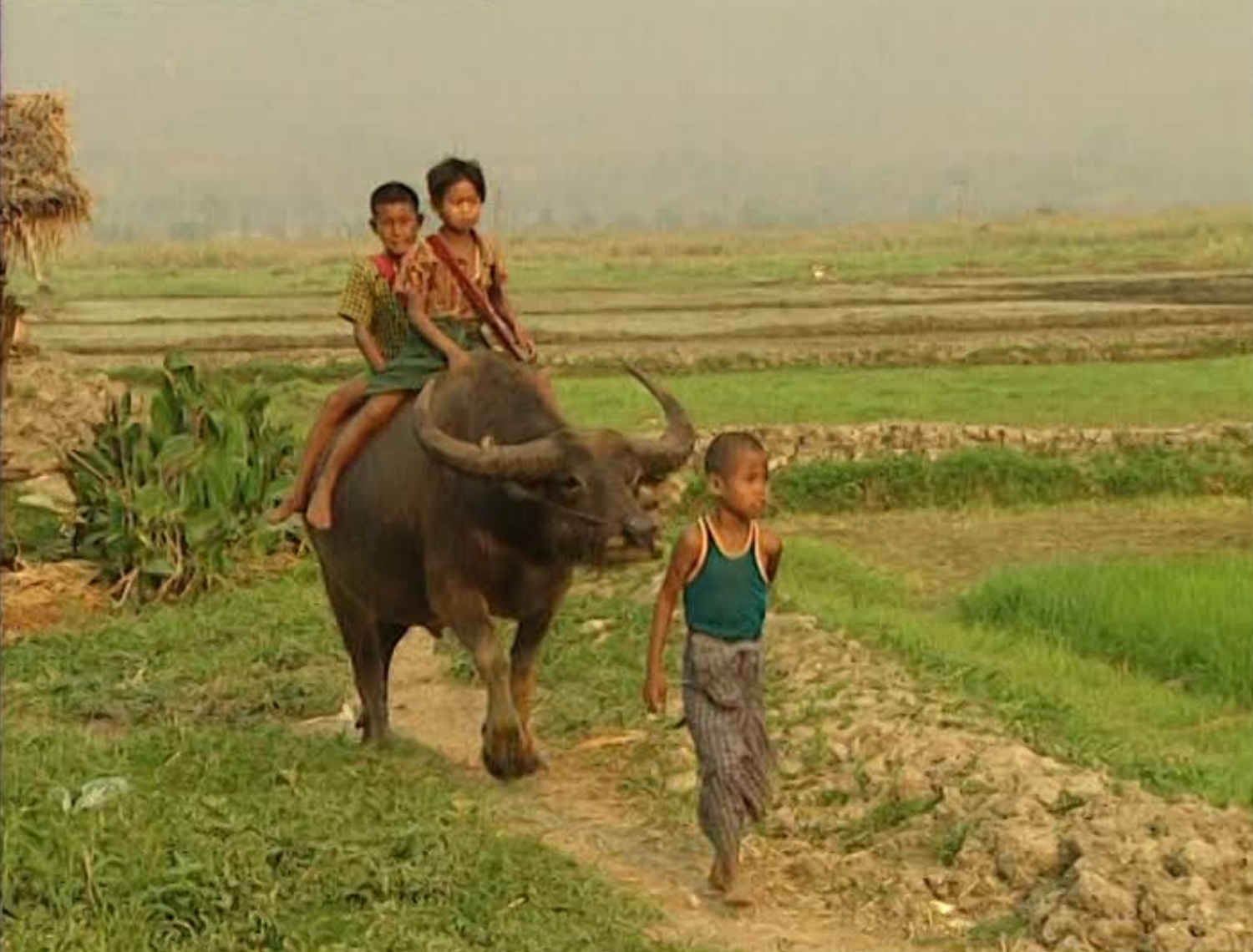Thai village boy pulling a water buffalo along a rice field with thai children riding on its back. Our work ethic is derived from working in the rice fields of Thailand.