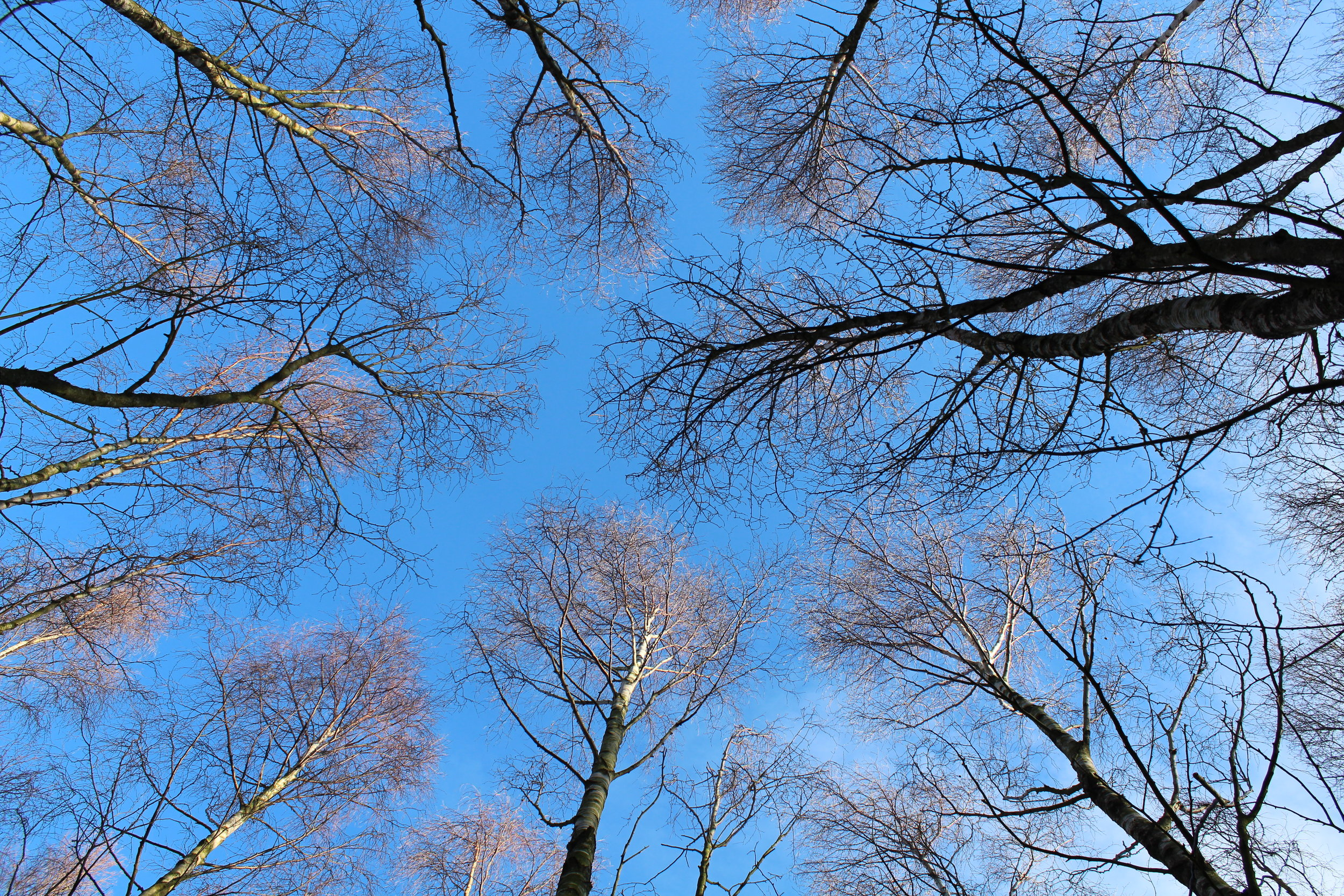 Tree canopies of birch woodland observed during an artistic residency at Pishwanton Wood
