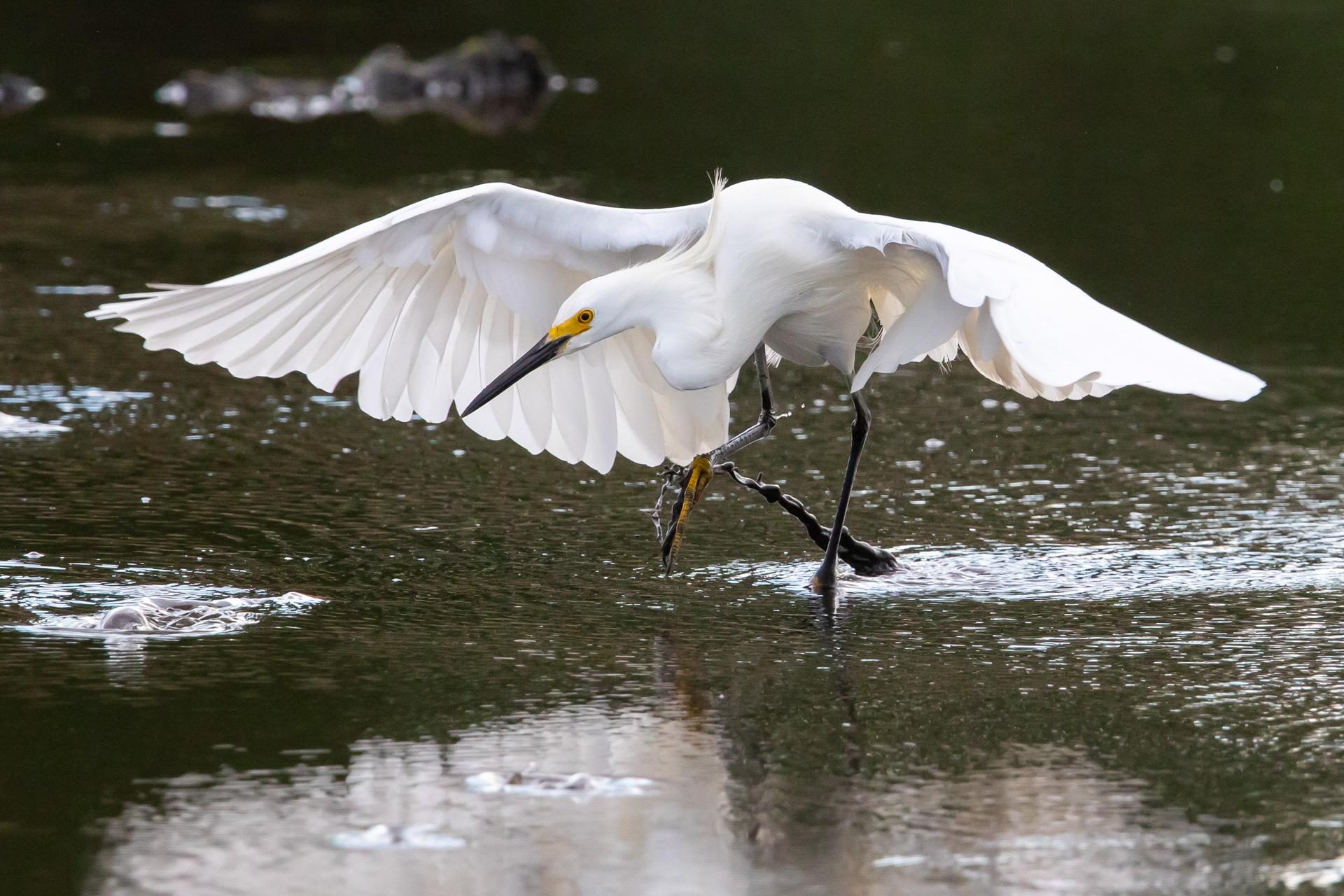 Snowy Egret Fishing.jpg