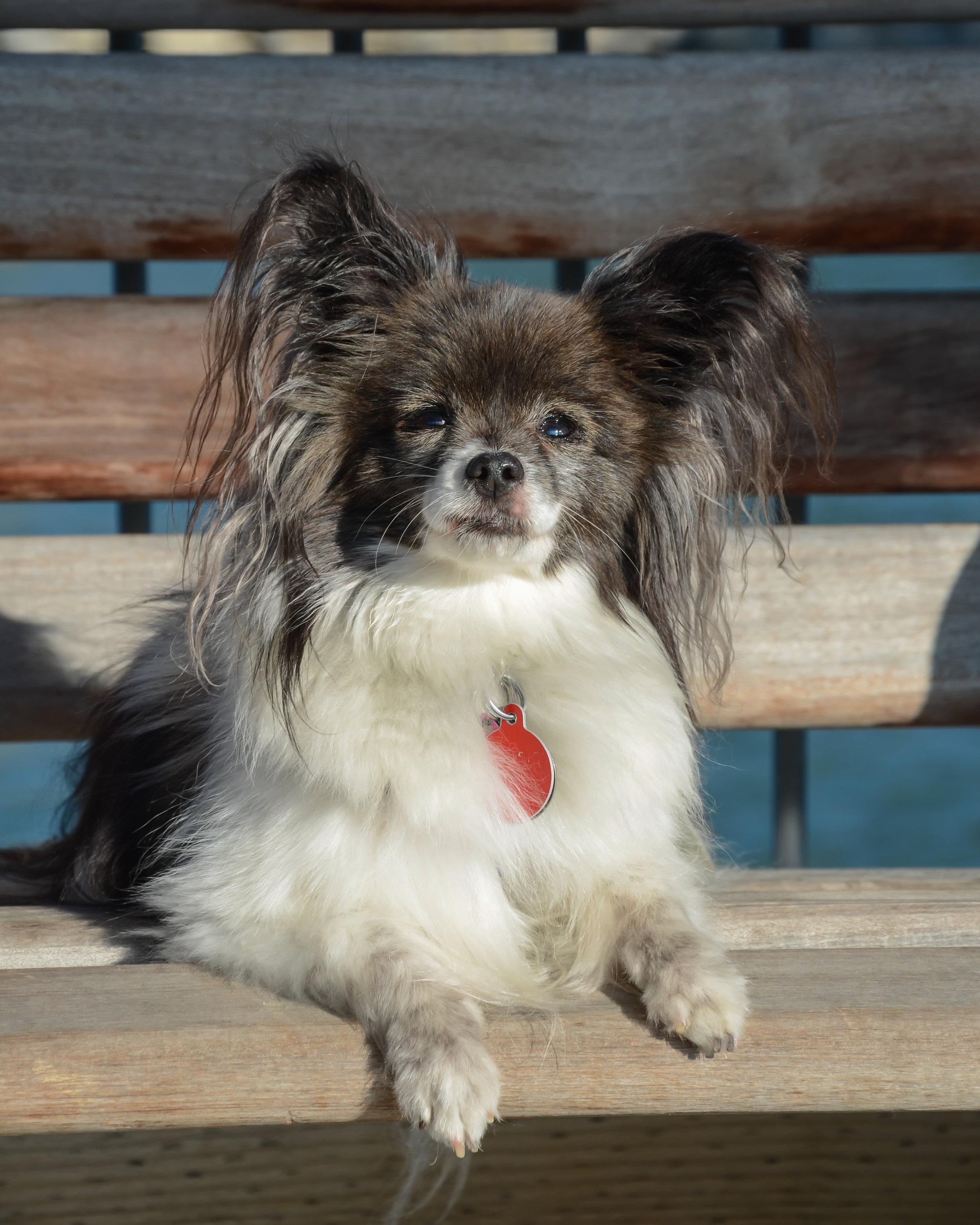 Ruby Dudzik, Therapy Dog (retired)