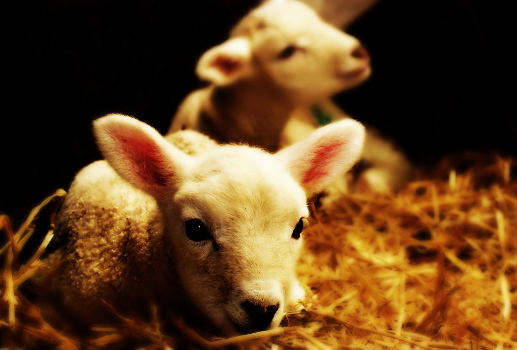 spring_lamb_by_cocker666.jpg