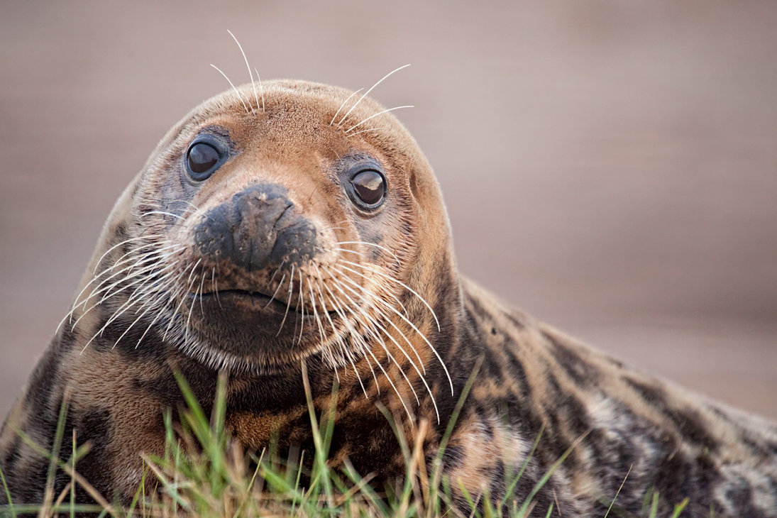 seal_stare_by_snowporing-d7br1x2.jpg