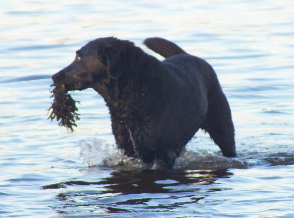 OK that's seaweed but she does catch the odd crab! They pincer her muzzle and she lets go quick!