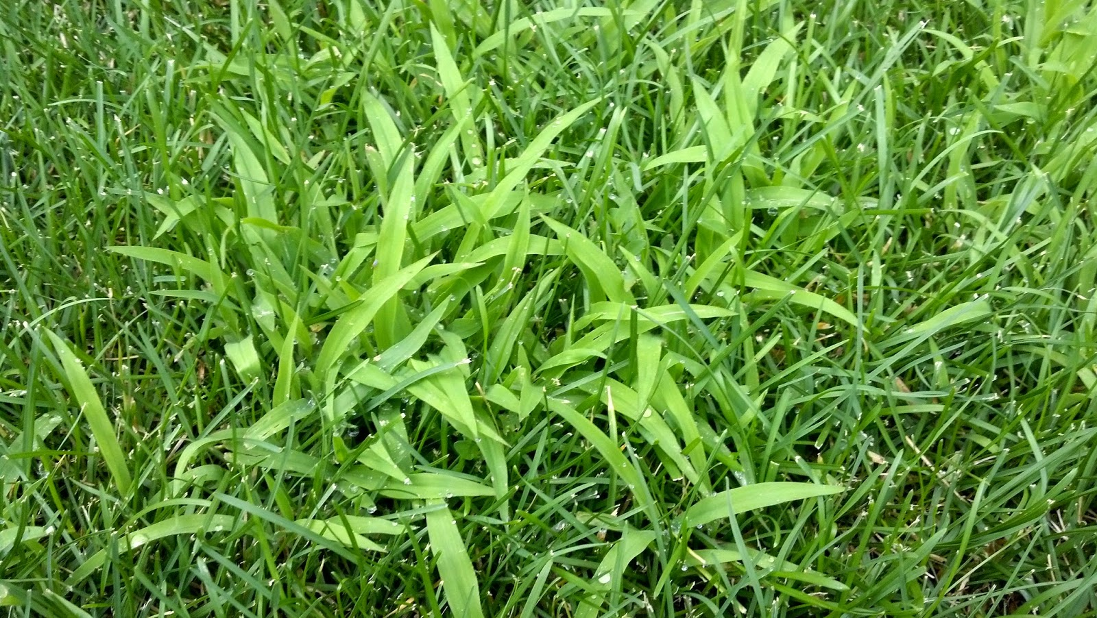 Because crabgrass is fast growing and spreads quickly,  it can have a dominant presence in your lawn by May without a spring pre-emergent.