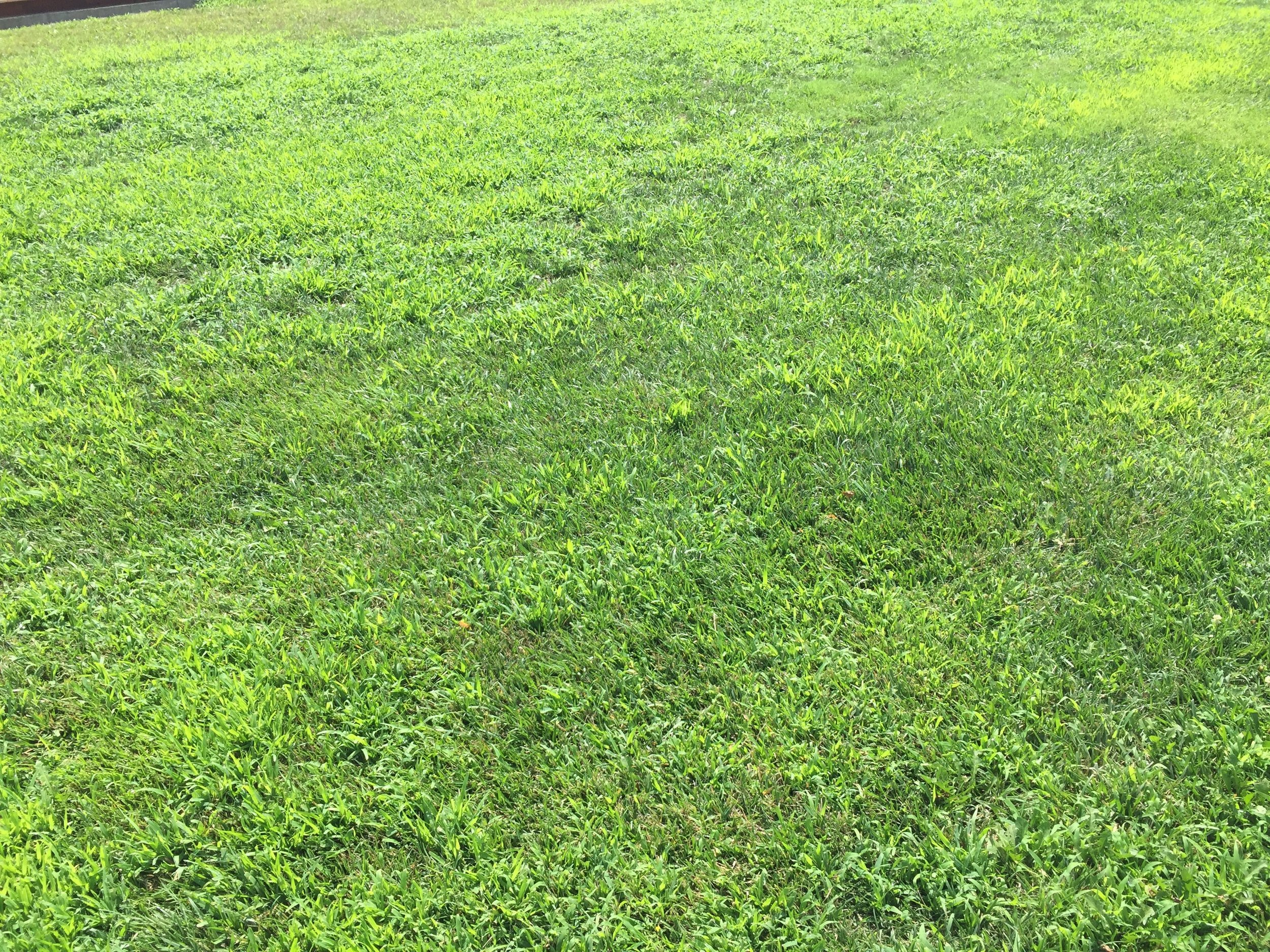 Mid summer lawn that did not have any pre-emergent in the spring.