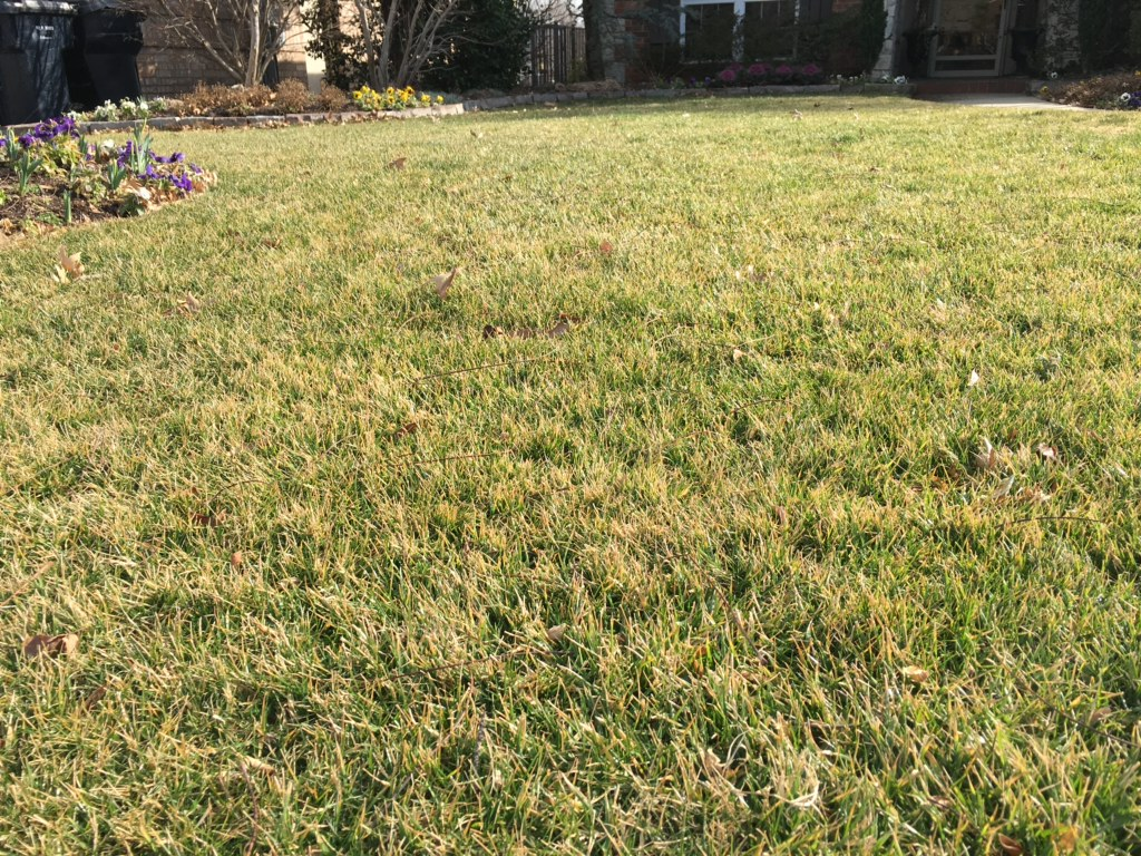 - Fescue lawn before Spring Lawn Maintenance has removed the freeze damaged grass tips.