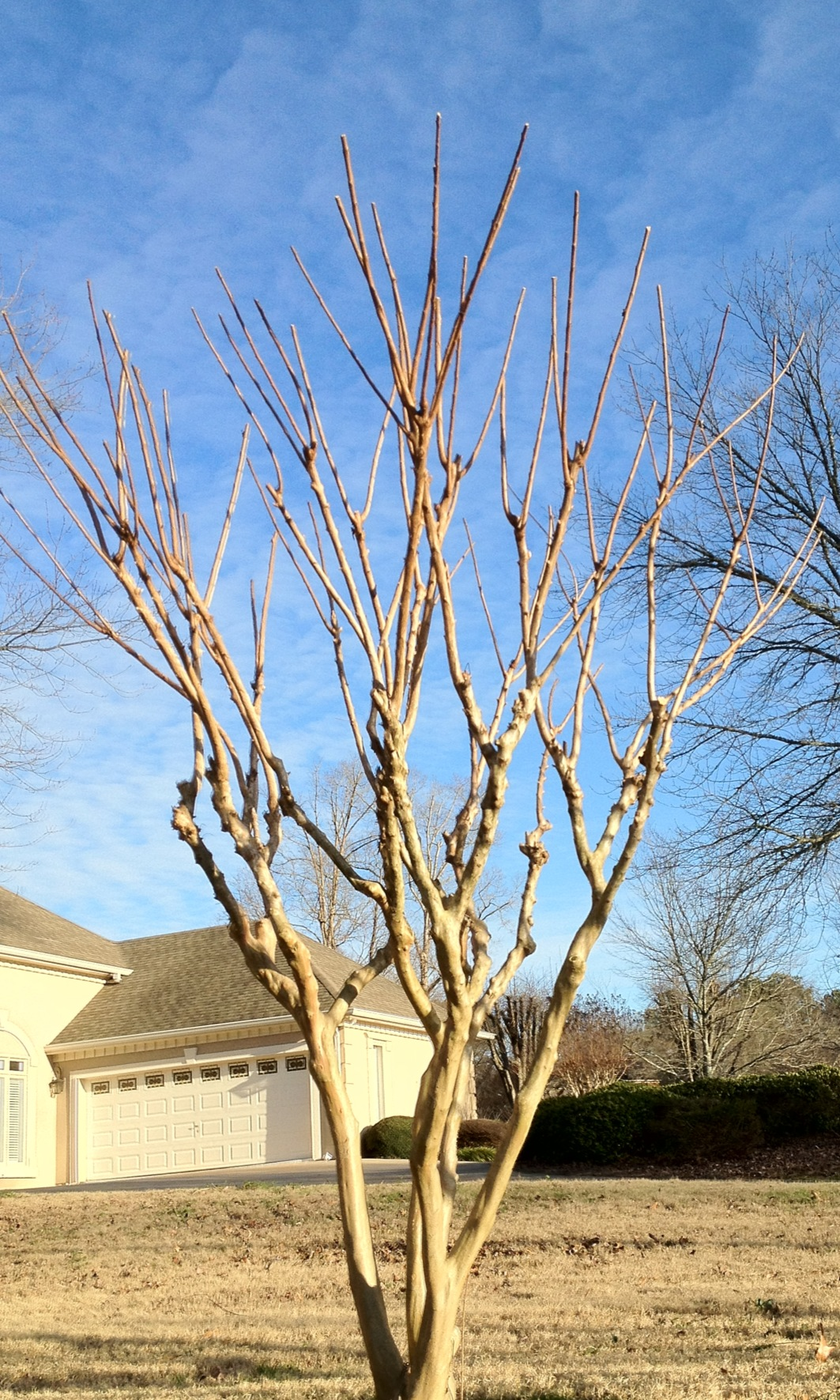 - Great pruning… this Crape Myrtle didn't fall victim to Crape Murder.