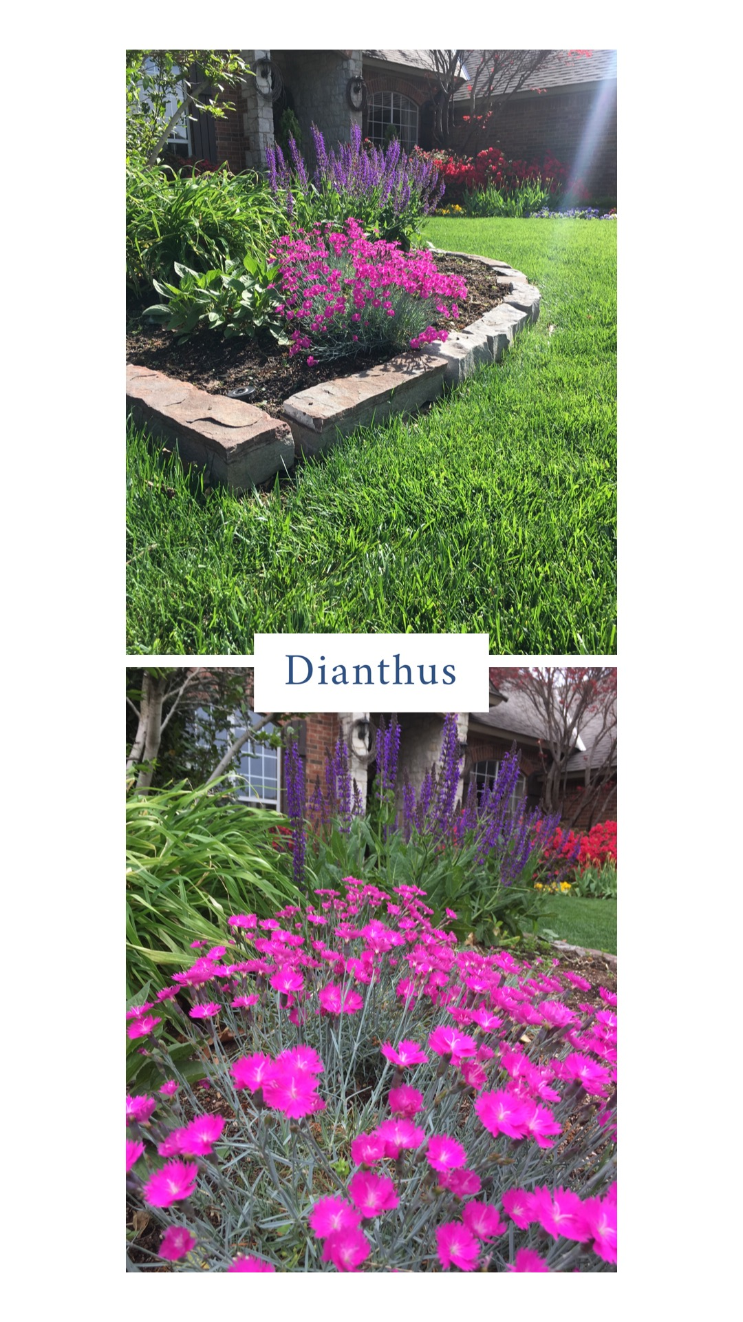 "Dianthus (Dianthus).  It works well as a border, in small groupings, around boulders or as a single plant reaching 10-15"" tall with a spread of 12-24"". They bloom in late spring in rose, pink, white, red. They like full sun but will take some dappled shade or afternoon shade. Just like creeping phlox, they are a cool season lover. They will grow in most soils, but prefer alkaline soils — waterlogged soil will cause crown and root rot. Heavy mulching near the crown of the plant can be detrimental. Late March and into May is the peak bloom time. Light feeding in the spring with a complete fertilizer of phosphorus, potassium and low nitrogen is recommended. Other an occasional aphid or powdery mildew issue, they do not have many problems. There are more than 300 varieties of dianthus to choose from. My all-time favorite is 'Firewitch'. It has a silver-green foliage and with a vibrant pink bloom."